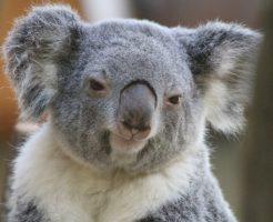 iサイクル注文トラッキングトレード-オーストラリアコアラ